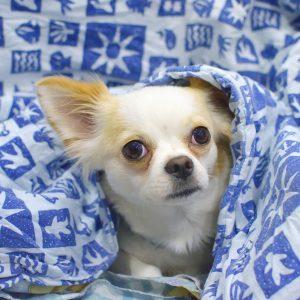 Hundenamen Chihuahua